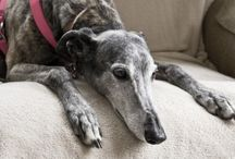Retired Racer / These beautiful dogs make the best pets. When the retire they need loving homes to live in. We adopted ours through Greyhound Adoption of Ohio (GAO).