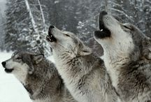 Animals: Wolves