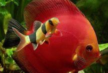 Peixe acará-disco