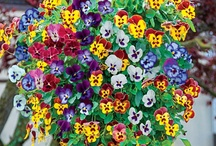 Pansy  Colorful