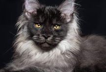 Cats (Maine Coon & other)