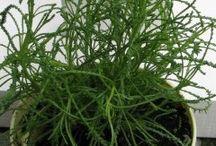 Olivová tráva