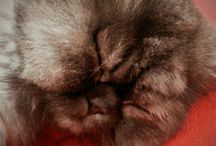 Persian Cat (my cats Ares & Pia) İran kedisi ( kedilerim Ares & Pia)