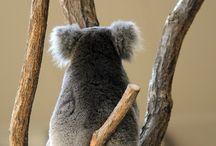 Koalas / Todo sobre ellos..