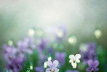 Flowers-Violets