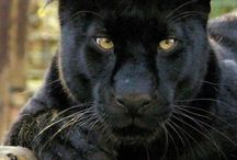 Big cats / Beauty, power and feared.. Respected