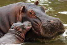 O meu favorito - HIPOPÓTAMO