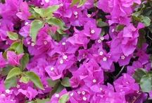 Flowers of Greece