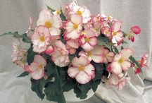 Begonia / Begonias seeds for prosessional production of beddingplants