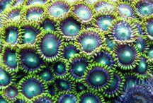 corail coraux