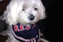 Remembering Maddie the Maltese of the BB Gang / Maddie was the BB Gang's Princess. Cam, Biscuit & Snowball love & miss you!
