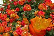 Rosas / Son imágenes de flores