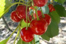 Las guindas / Las guindas, incluidas en el grupo de las superfrutas ya que aumentan la capacidad antioxidante de nuestro organismo