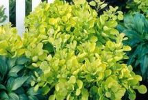 Plants: Cotinus