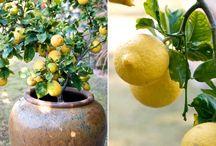 Lemon-A boon to us
