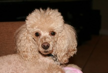 Poodles and other cute pets