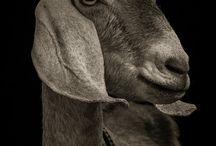 lamb|goat