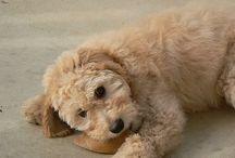 Goldendoodle!! / by Becky Reimiller