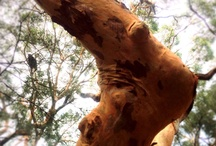 Gum trees / by Jayne Mansfield