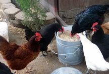 Chickens for Me / by Becky Loyall