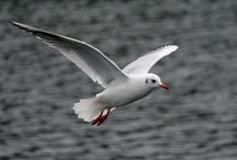 ANIMAL • Seagull