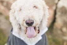 A Goldendoodle CEO / This board is about Odie being freaking awesome.