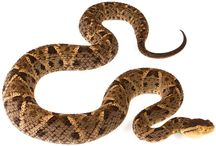 Bothrops Asper / Otherwise known as fur de lance snake. Very venomous  / by Jackie Atkinson
