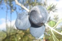 Foto Olio & Olive / Elenco di foto nelle campagna del Salento di Uliveti secolari, Olive e Olio.
