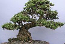 Bonsai / bonsaiokról