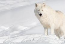 wolves / by Leonie Lewis