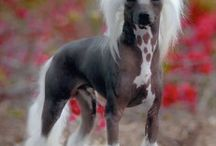 Chinese Crested Signs and Pictures / Warning and Caution Chinese Crested Signs. https://www.signswithanattitude.com/chinese-crested-signs.html