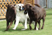 lillian rankin / my labradors