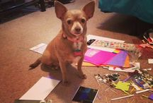 """Cleopatra needs a new home1 / Meet Cleopatra """"Cleo"""" She is 10 years young and in excellent health, no special diet and is potty trained. She also knows how to use potty pads if you go out during the day. Pictured here helping me with scrapbook work. Her owner Dee, 90, has dementia and has moved to an assisted living facility that does not allow pets. UPDATE:  CLEO HAS BEEN ADOPTED!!"""