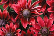 Plant - Rudbeckia