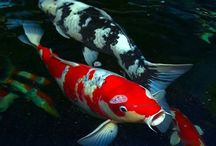 Koi / Koi are awesome fish developed from the Grass Carp the same fish that Goldfish was developed from.