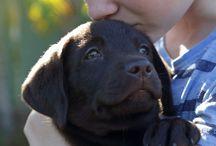 Love labradors - 2