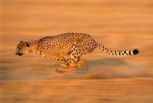 Moje oblíbené zvířátko - gepard / My Animal Favorites - Cheetah