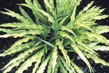flori de umbra - hosta