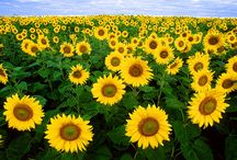 Sunny Sunflowers! / Sunflowers make me happy - can't get enough of them!