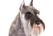Miniature Schnauzer / Stocky, robust little dogs standing 12 to 14 inches at the shoulder, Miniature Schnauzers were bred down from their larger cousins, Standard Schnauzers. Aside from the size difference, the two breeds look much alike. The bushy beard and eyebrows give Minis a charming, human-like expression. The coat comes in three color patterns: salt and pepper, black and silver, and solid black. Created to be all-around farm dogs and ratters, they're rugged and muscular—fearless, but not aggressive.