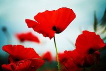 Poppies / by Julia