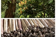 Ceylon Cinnamon Production