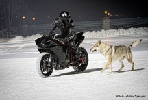 Wolves on the ice