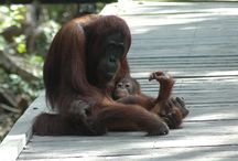 Orangutans and other Endangered animals / Friends of the National Parks Foundation works to protect Indonesia's endangered wildlife.  These include the Orangutan, Bali Starling, Gibbon, Cockatoos, Eagles and more.