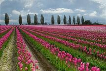 tulipani che passione !