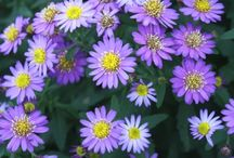 2015 PDN Aster / Although taxonomists have officially kicked all the US-born plants out of the genus Aster, we refuse to cooperate in this vast left-limb conspiracy. Thus, you may see the genus Aster listed as symphotrichum or ampelaster. Despite the nomenclature controversy, aster is a splendid drought-tolerant, late-season flowering perennial that lends cooler blue-violet tones to the bright, exciting colors of fall.