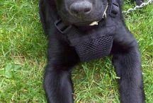 I ❤ Labradors!!! / by Jessica Montalvo