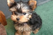 My kiddos have decided this is the dog for us... / Our dream puppy