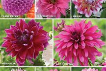 Dahlias / #Dahlias are one of the most popular #flowers in the entire world and for good reason. Just look at them!!