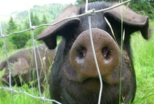 Pigs / by T MW